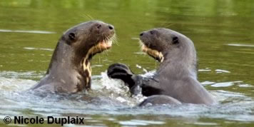 Two Giant Otter Cubs Play-Fighting