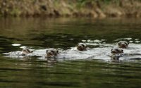 Group of giant otter swimming toward the camera