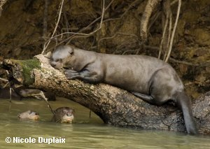 Copyright Nicole Duplaix.  Giant Otter lying on a log with two otters underneath in the water